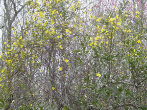 Carolina Yellow Jessamine flowers and foliage