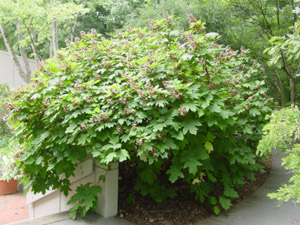 Oakleaf hydrangea in the landscape