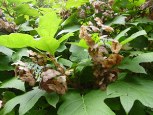 Oakleaf hydrangea pinkish brown flowers