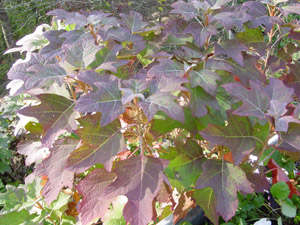 Oakleaf hydrangea fall color foliage