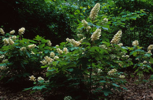 Oakleaf hydrangea in bloom