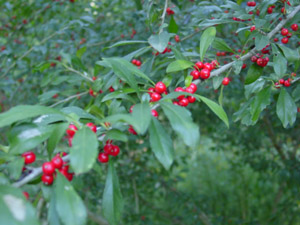 Possumhaw berries and foliage