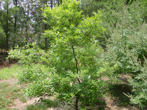 Possumhaw tree in landscape