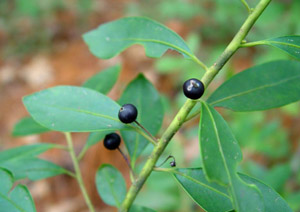 Gallberry or Inkberry berries