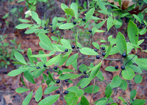 Gallberry or Inkberry berries and foliage on branch