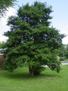 American holly tree in landscape