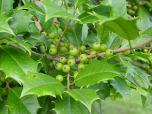 American holly berries on branch