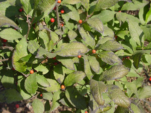 Winterberry foliage