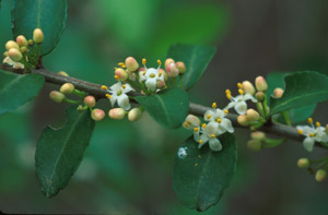 Yaupon Holly buds and flowers on branch