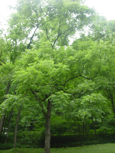 Black walnut tree in landscapes