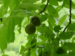 Black walnut fruit on branches