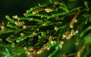 Eastern red cedar branch foliage