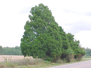 Eastern red cedar trees in landscape
