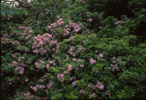 Mountain Laurel in the landscape