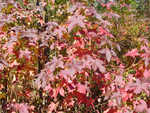 Sweetgum, fall color