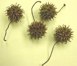 Sweetgum spiny fruit
