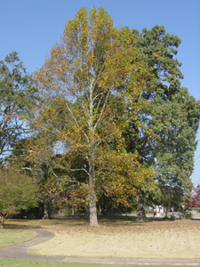 Tulip poplar or Yellow poplar tree in landscape