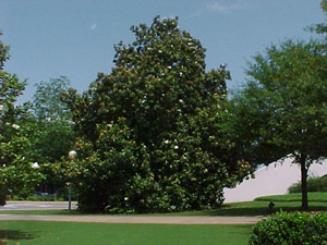 Southern magnolia tree in landscape