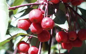 Narrow-leaf crabapple berries
