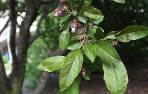 Narrow-leaf crabapple buds and leaves