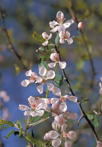 Narrow-leaf crabapple flowers