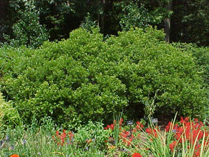 Southern Wax Myrtle in the landscape
