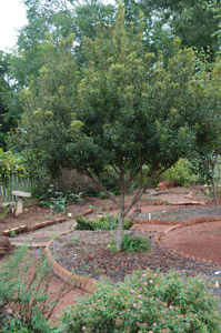 Southern Wax Myrtle tree in the garden