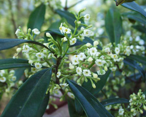 Wild Olive or Devilwood flowers