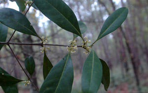 Wild Olive or Devilwood leaves