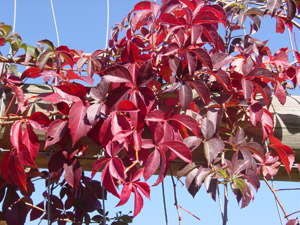 Virginia Creeper fall leaf color