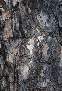 Shortleaf pine bark