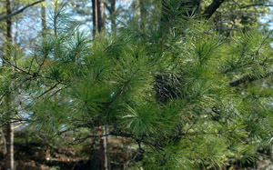 Shortleaf pine needles and branch foliage