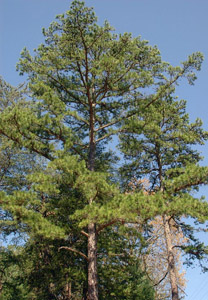 Shortleaf pine tree in forest