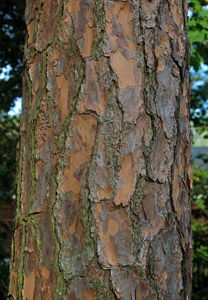 Slash pine bark