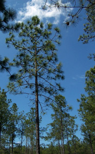 Slash pine tree in forest