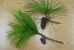 Slash pine cones and needles