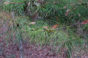 Spruce pine needles and branch foliage