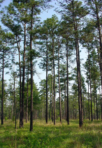 Longleaf pine trees in forest