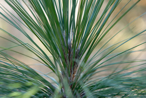 Longleaf pine needles