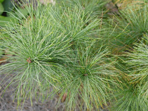 White pine foliage on branches