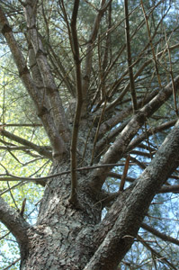 White pine branches on trunk