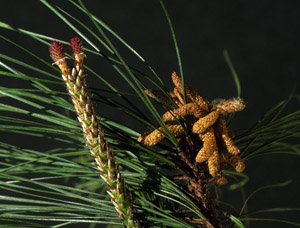 Loblolly pine reproductive structures