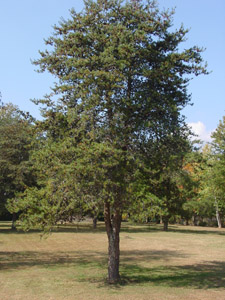 Virginia pine tree in landscape