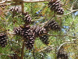 Virginia pine cones and needles on branches