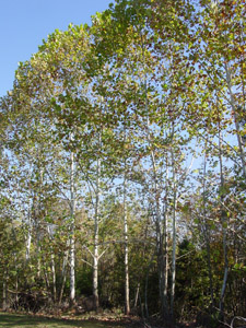 Sycamore trees in forest