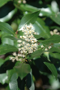 Cherry laurel in bloom