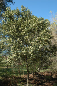 Cherry laurel in landscape