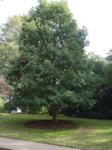White oak tree in landscape
