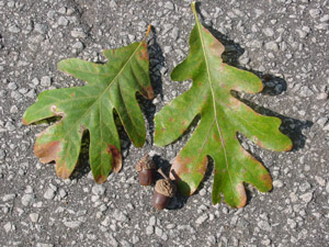 White oak leaves and acorns