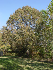 Southern red oak tree in landscape